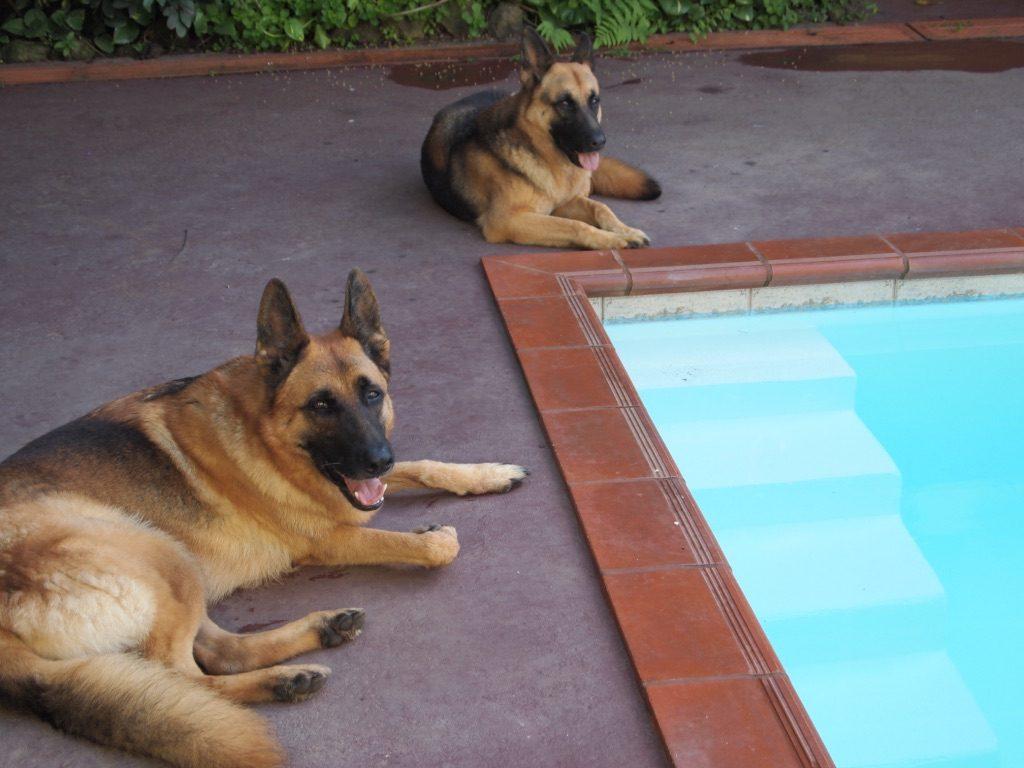 Poolside German Sheppards - Eden Atenas